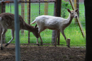 Pictured above is a fallow doe from our ranch that has a pure white coat.