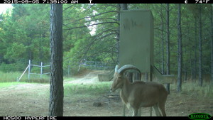 Aoudad Hunting in East Texas