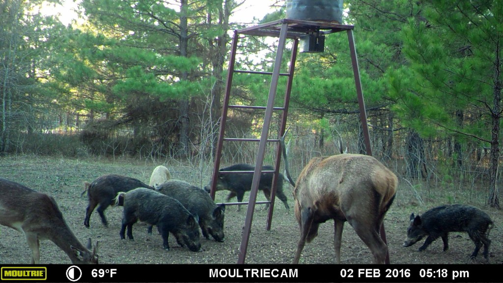 Hogs on a game camera 4P Bow Hunting Ranch