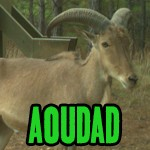 About the Exotics: Aoudad Hunting